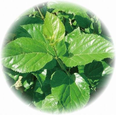 桑葉品種ブリダム60