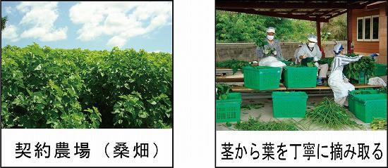 契約農場(桑畑)写真 茎から葉を丁寧に摘み取る写真