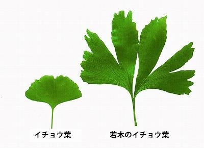 イチョウ葉と若木イチョウ葉 大きさ比較